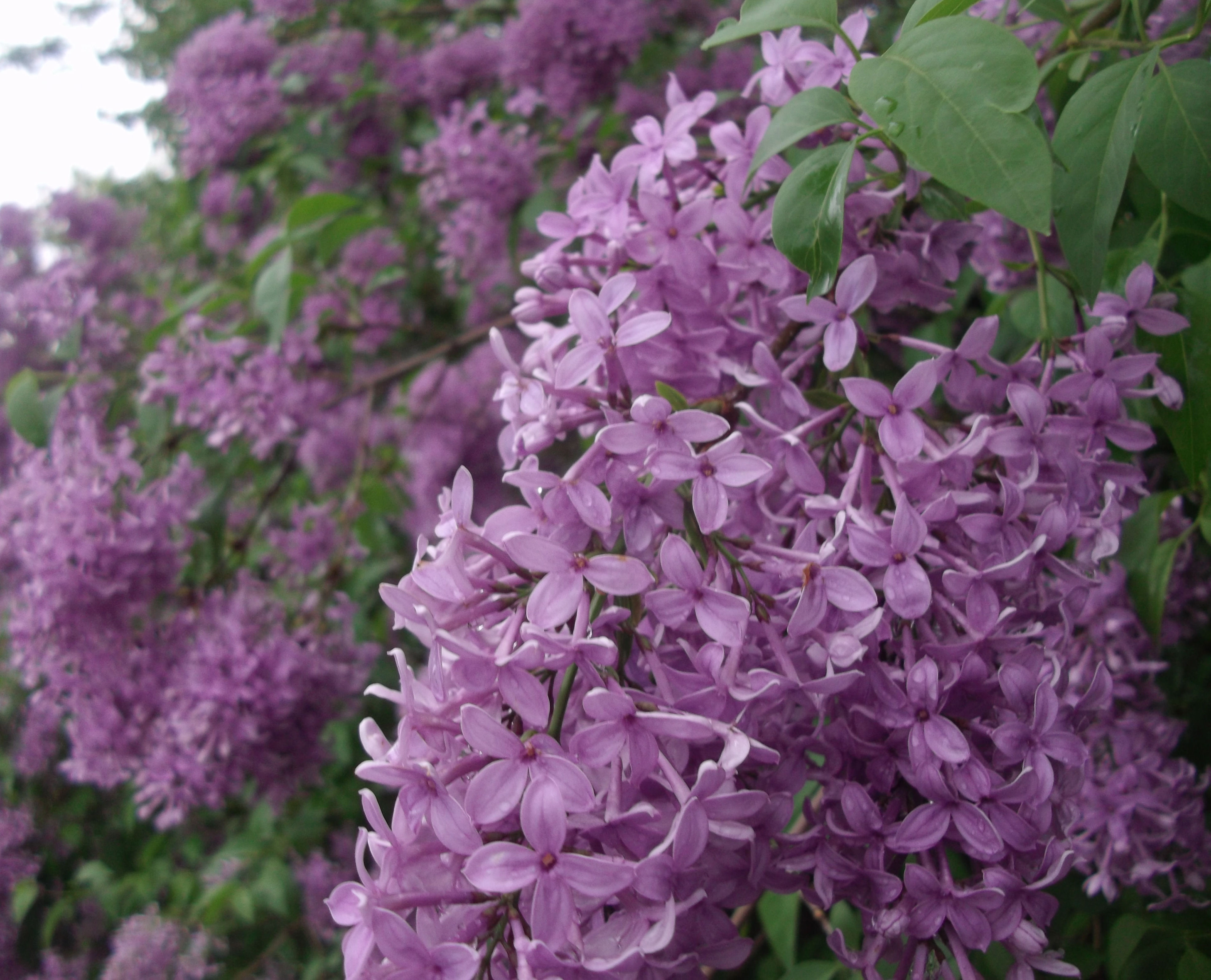 Preparing Lilacs For Recipes Diane S Food Blog