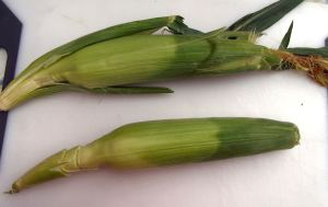 Grilling corn 004